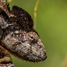 Cameleon in stealth by Arjan Schilperoort - Animals Reptiles ( madagascar )