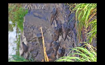 Photo: Great Dusky Swift(オオムジアマツバメ) NHKで放映されたイグアスの滝裏に飛び込むツバメです。