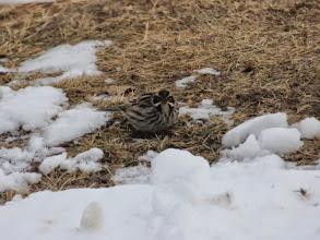 Photo: Kuva-19b1, pajusirkku +1kv naaras (toukokuu) kuvaaja Timo Talala