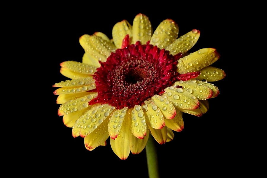 by Arvinder Singh - Nature Up Close Flowers - 2011-2013