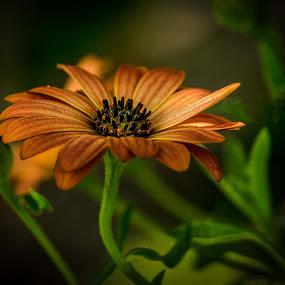 Orange Delight by Rita Taylor - Flowers Single Flower ( orange, bloom, garden, flower,  )