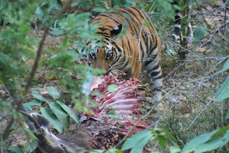 Photo: Phillip again with a tiger peeking out eating