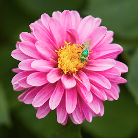 Dahlia 8811~ by Raphael RaCcoon - Flowers Single Flower