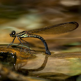 Laying Egg by Yan Kebak - Animals Insects & Spiders