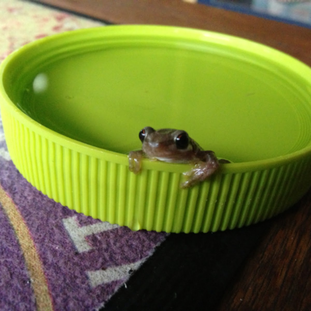 Bleating frog