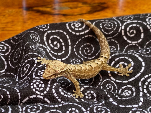 gecko.jpg - Looks fake, right? But this golden gecko came up and spent five minutes getting cozy atop my cloth mask.