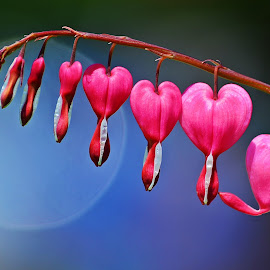 Bleeding Hearts by James Kampeis - Novices Only Flowers & Plants