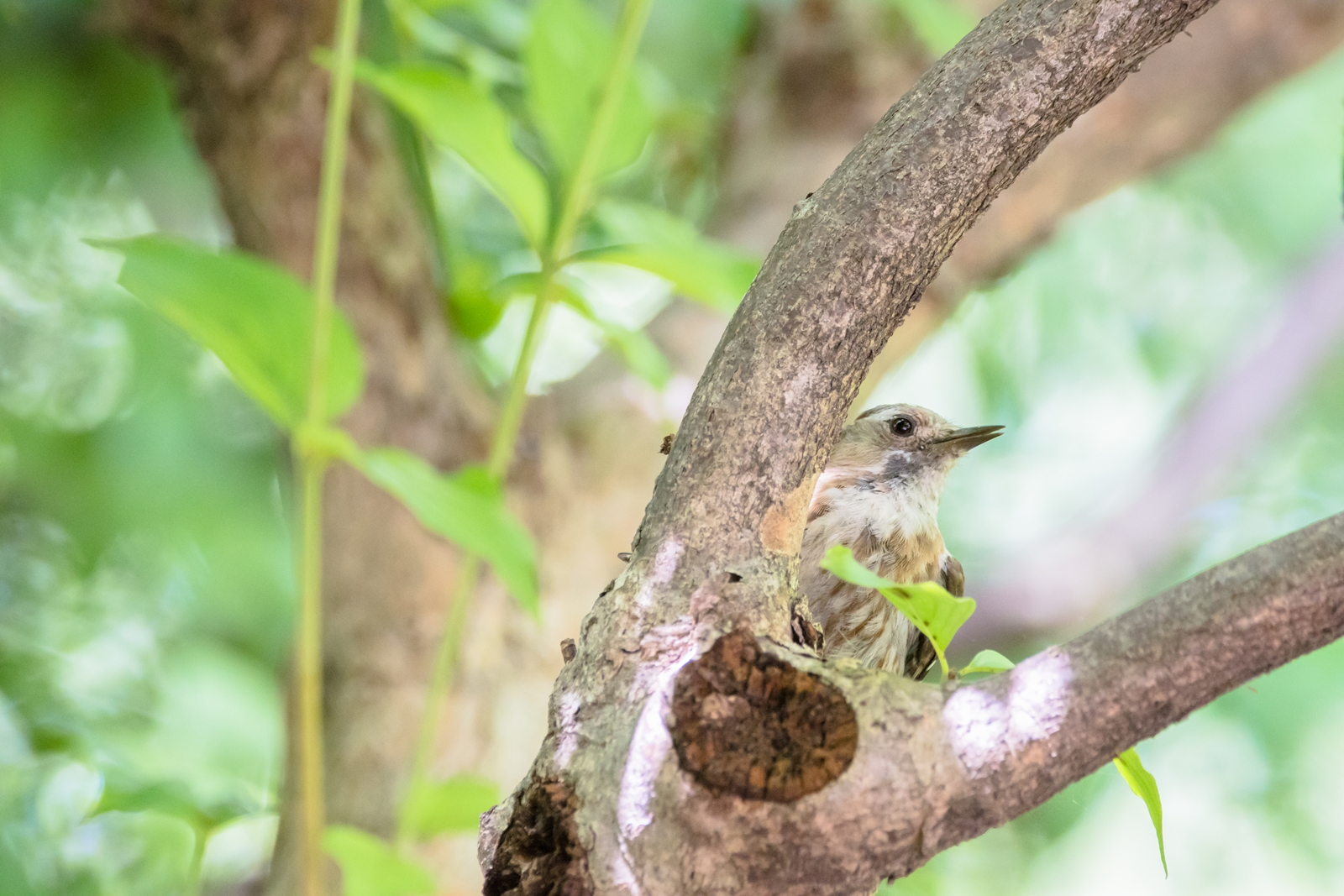 Photo: 「まーだだよ」 / Let's play hide-and-seek.  夏の森は隠れる場所がいっぱい あっちでもこっちでも かくれんぼに夢中 もういいかい まーだだよ  Japanese Pygmy Woodpecker. (コゲラ)  Nikon D500 SIGMA 150-600mm F5-6.3 DG OS HSM Contemporary  #birdphotography #birds #kawaii #ことり #小鳥 #nikon #sigma  ( http://takafumiooshio.com/archives/2745 )