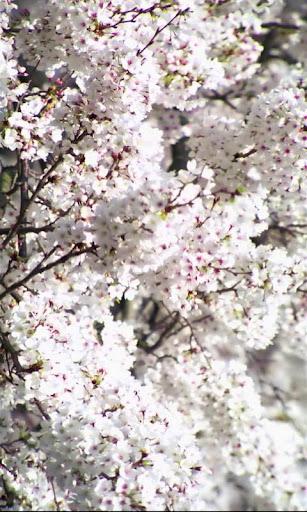 Riotous color of sakura