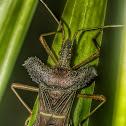 Percevejo-Pés-de-Folha-Leptoglossus / Leptoglossus Leaf-Footed Bug