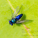 Glossy Blue Fly