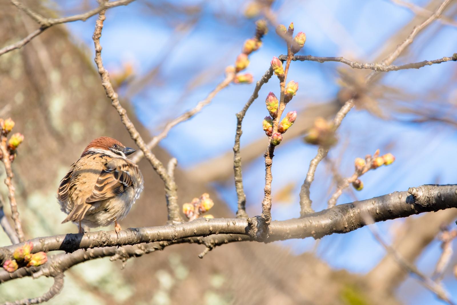 Photo: 「もうすぐ」 / A little more.  ぷくぷくと ふくらむ蕾 楽しみで楽しみで まだかまだかと 待ちわびる  sparrow. (スズメ)  Nikon D7200 SIGMA 150-600mm F5-6.3 DG OS HSM Contemporary  #birdphotography #birds #kawaii #小鳥 #nikon #sigma #小鳥グラファー  ( http://takafumiooshio.com/archives/1370 )