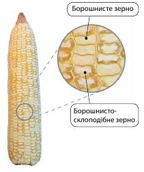 Переваги силосних гібридів кукурудзи Leafy і Leafy-Floury типу фото 2 LNZ Group