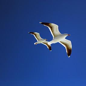 Two Birds by Surentharan Murthi - Animals Birds ( bird, sky, nature, fly, blue, white, travel, san francisco )