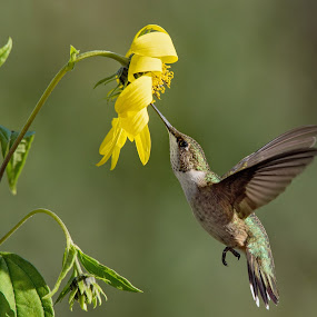Hummingbird at sunflower by Jen St. Louis - Animals Birds ( in flight, flowers, hummingbird, bird,  )
