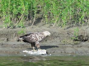 Photo: Орел дерет дохлую щуку.