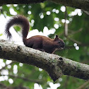 Ardilla centroamericana (Variegated squirrel)