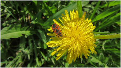 Photo: Turda - Str. Ion Sion, papadie si  Vaca Domnului cunoscuta si ca Ochiul Domnului, este o insecta din familia Pyrrhocoridae - 2018.04.14