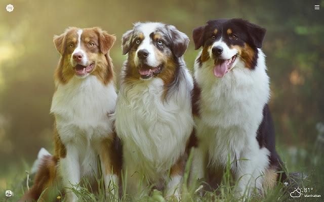 My Australian Shepherd Dog & Puppy Wallpapers