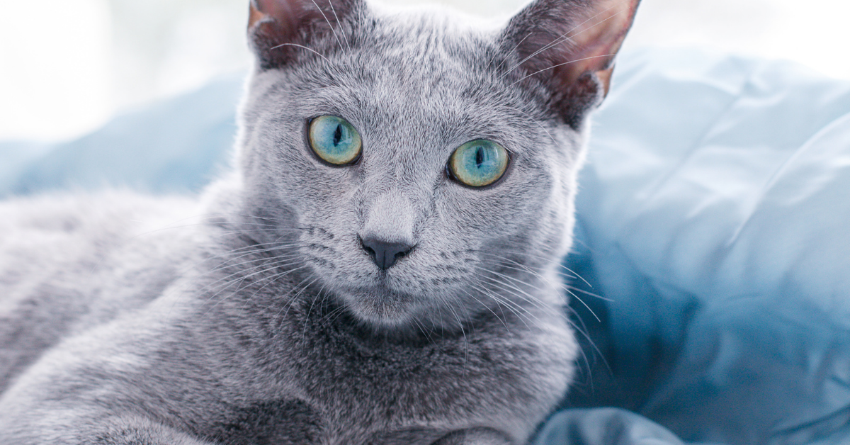 This can be considered a solid blue cat.
