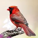 Cardinal Bird Sounds icon