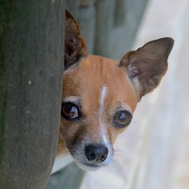 Copi by Rob Kovacs - Animals - Dogs Portraits