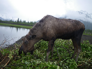 Photo: Moose abla!