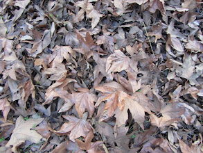 Photo: Sycamore leaves