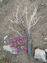 Photo: Purple Mat (Nama demissum)