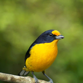 Violaceous Euphonia by Itamar Campos - Animals Birds ( morretes, gaturamo, euphonia violacea, forest, violaceous euphonia,  )