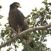 鳥鳴き声カンムリワシ