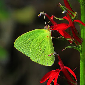 yellow on red by Mike Dinkens - Animals Insects & Spiders
