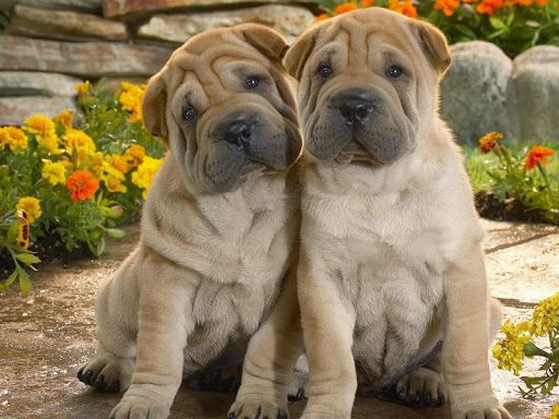Shar Pei HD Live Wallpaper