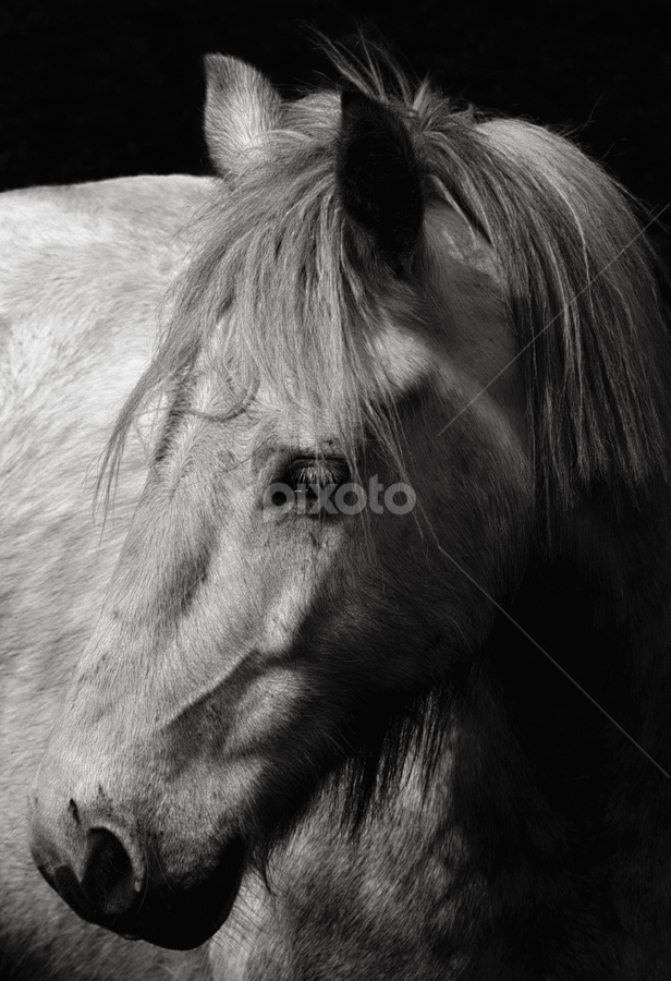 White horse by Peter Greenhalgh - Animals Horses ( mane, black and white, horse, head, close up, portrait, white horse )