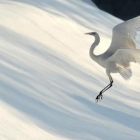 White Heron Major by Albergamo Paolo - Animals Birds ( bird, animals, paolo albergamo, white heron major, natural )