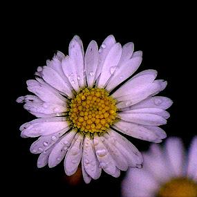 by Di Fone - Flowers Single Flower (  )