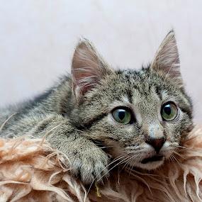 Woooow!!! by Dmitriev Dmitry - Animals - Cats Kittens ( kitten, cat, pet, kitty, animal, eyes )