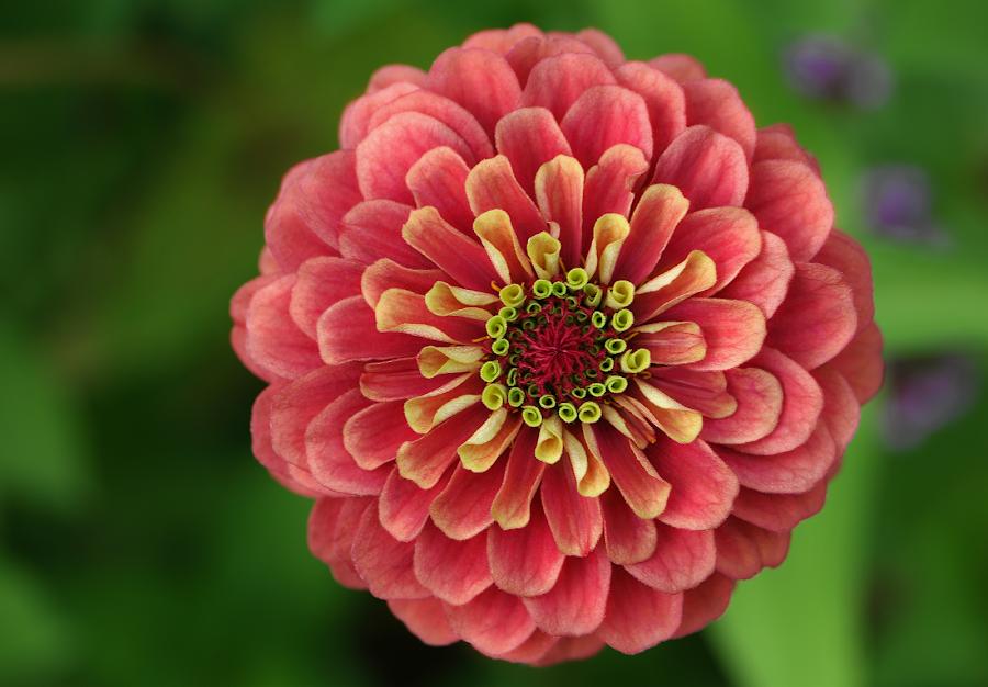 by Lori Rose - Flowers Single Flower (  )