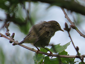 Photo: 29 Jun 13 Priorslee Lake: A rather scruffy juvenile Chiffchaff: note the pale tips to the primaries. The legs are dark at this stage, not black. But the supercilium is rather indistinct and the plumage too olive for Willow Warbler: juveniles of this species can be startlingly yellow! (Ed Wilson)