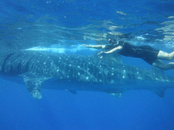 Swimming next to Whale Sharks
