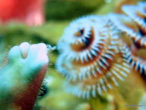Photo: Christmas Tree Tube worms, color variations and close up views...