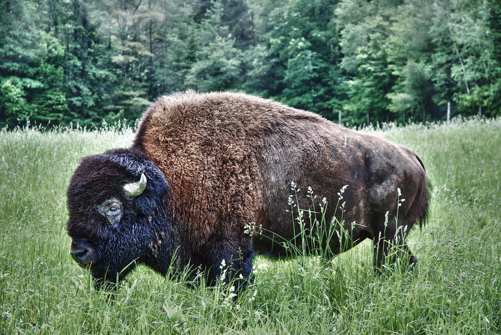 bison-1114095_1920 — kopia.jpg