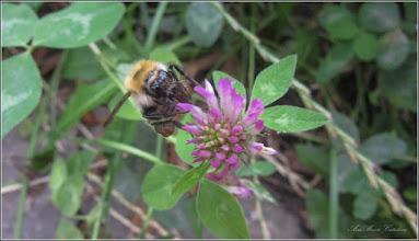 Photo: Trifoi (Trifolium), cu bondar  cu tot :)  - din Turda, de pe Str. Avram Iancu - 2018.07.19