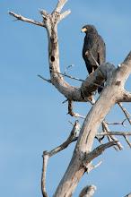Photo: Common Black Hawk (Krabbenbussard); Rio Lagartos, YUC