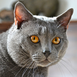 Hugo by Serge Ostrogradsky - Animals - Cats Portraits (  )