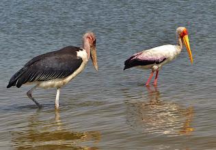 Photo: Vögel am Viktoriasee: Marabu (Leptoptilos crumeniferus, Marabou Stork) und Nimmersatt (Mycteria Ibis, Yellow-billed Stork)