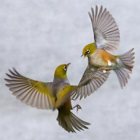 Aerial Dancing by Trevor Bond - Animals Birds ( bird, silvereye, nz, waxeye,  )