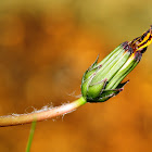 Asteraceae flower bud
