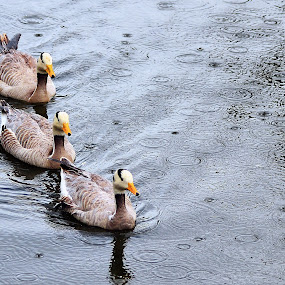 line up, guys by Dhannie Setiawan - Animals Birds ( water, ducks, three, line, birds, rain,  )
