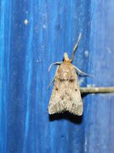 Photo: Stemmatophora brunnealis  Lepidoptera > Pyralidae
